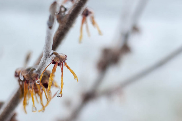 Ice on witch hazel blossoms